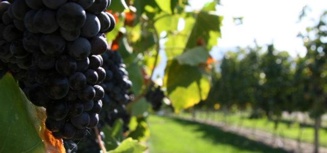 Brisolée et balade dans les vignes